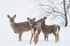 http://www.dreamstime.com/royalty-free-stock-photography-whitetail-deer-winter-white-tail-females-image36676697